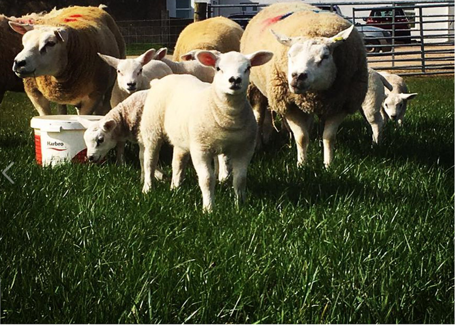One-of-our-lambs-this-year-RESIZE